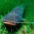 Meerval vissenvoer