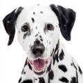 Dalmatiër hondenvoer